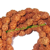 Rudraksha Beads 2 Mukhi (two face), size: 8mm thickness