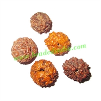 Rare Indonesian Rudraksha Beads 13 Mukhi (thirteen face), size: 11mm to 17mm